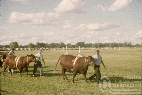 "<span class=""caption-caption"">Prize-winning bulls at the show, Barcaldine</span>, 1962. <br />Slide, collection of <span class=""caption-contributor"">Gladys Hartland</span>."