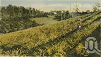 "<span class=""caption-caption"">Pineapple planation, Woombye</span>, date unknown. <br />Postcard by <span class=""caption-publisher"">White Series</span>, collection of <span class=""caption-contributor"">Centre for the Government of Queensland</span>."