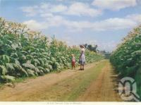 "<span class=""caption-caption"">A fine tobacco crop at Mareeba</span>, c1962. <br />Postcard folder by <span class=""caption-publisher"">Unknown Publisher</span>, collection of <span class=""caption-contributor"">Centre for the Government of Queensland</span>."