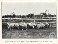 "<span class=""caption-caption"">Crossbred sheep at State Agricultural College, Gatton</span>. <br />From <span class=""caption-book"">Queensland Sheep and Wool Industry</span>, <span class=""caption-publisher"">Queensland Government Intelligence and Tourist Bureau</span>, 1918, collection of <span class=""caption-contributor"">Fryer Library, UQ</span>."