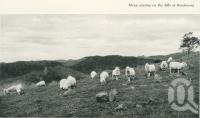 "<span class=""caption-caption"">Sheep grazing on the hills at Beechmont</span>. <br />From <span class=""caption-book"">Gold Coast: The story of the Gold Coast of Queensland and Hinterland</span>, 1958, collection of <span class=""caption-contributor"">John Young</span>."