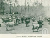 "<span class=""caption-caption"">Yarding cattle, Mundoolan Station, Logan River</span>, c1925. <br />Booklet, collection of <span class=""caption-contributor"">John Young</span>."