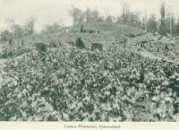 "<span class=""caption-caption"">Cotton plantation, Queensland</span>, c1925. <br />Booklet, collection of <span class=""caption-contributor"">John Young</span>."