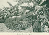 "<span class=""caption-caption"">Banana plantation, Samford</span>, c1925. <br />Booklet, collection of <span class=""caption-contributor"">John Young</span>."