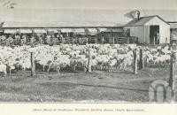 "<span class=""caption-caption"">Shorn sheep at Jondaryan Woolshed, Darling Downs</span>. <br />From <span class=""caption-book"">Queensland Sheep and Wool Industry</span>, <span class=""caption-creator"">Queensland Government Intelligence and Tourist Bureau</span>, Brisbane, 1918, collection of <span class=""caption-contributor"">Centre for the Government of Queensland</span>."