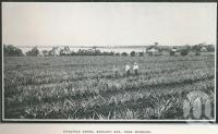 "<span class=""caption-caption"">Pineapple farms, Redland Bay</span>. <br />From <span class=""caption-book"">Glimpses of Sunny Queensland (3rd edition)</span>, <span class=""caption-creator"">Queensland Government Intelligence and Tourist Bureau</span>, Brisbane, 1914, collection of <span class=""caption-contributor"">Centre for the Government of Queensland</span>."