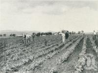 "<span class=""caption-caption"">Life and industry on the Darling Downs, hilling potatoes at Killarney</span>. <br />From <span class=""caption-book"">Glimpses of Sunny Queensland (3rd edition)</span>, <span class=""caption-creator"">Queensland Government Intelligence and Tourist Bureau</span>, Brisbane, 1914, collection of <span class=""caption-contributor"">Centre for the Government of Queensland</span>."