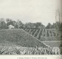 "<span class=""caption-caption"">A pineapple plantation at Woombye</span>. <br />From <span class=""caption-book"">Australia Unlimited</span>, <span class=""caption-creator"">Edwin J Brady</span>, <span class=""caption-publisher"">George Robertson & Co</span>, Melbourne, 1918, collection of <span class=""caption-contributor"">Centre for the Government of Queensland</span>."