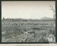 "<span class=""caption-caption"">A herd of Hereford cattle on Coochin Coochin, Fassifern District</span>. <br />From <span class=""caption-book"">Australia Unlimited</span>, <span class=""caption-creator"">Edwin J Brady</span>, <span class=""caption-publisher"">George Robertson & Co</span>, Melbourne, 1918, collection of <span class=""caption-contributor"">Centre for the Government of Queensland</span>."