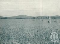 "<span class=""caption-caption"">Ripe wheat, Killarney</span>. <br />From <span class=""caption-book"">Queensland Journey</span>, <span class=""caption-creator"">C.B. Christensen</span>, <span class=""caption-publisher"">Queensland Government Tourist Bureau</span>, Brisbane, 1938, collection of <span class=""caption-contributor"">Centre for the Government of Queensland</span>."