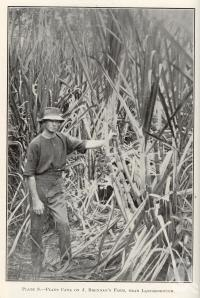 "<span class=""caption-caption"">Plant cane on J. Brennan's farm, near Landsborough</span>. <br />From <span class=""caption-book"">Queensland Agricultural Journal</span>, 1916, collection of <span class=""caption-contributor"">Fryer Library, UQ</span>."