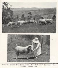 """<span class=""""caption-caption"""">Dorset horn sheep on Mr Hugh McMartin's property, 'Glen Pullen',  Pullenvale</span>. <br />From <span class=""""caption-book"""">Queensland Agricultural Journal</span>, 1922, collection of <span class=""""caption-contributor"""">Fryer Library, UQ</span>."""
