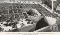 "<span class=""caption-caption"">Tomatoes, Bowen</span>. <br />From <span class=""caption-book"">Queensland Agricultural Journal</span>, 1925, collection of <span class=""caption-contributor"">Fryer Library, UQ</span>."