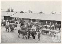 "<span class=""caption-caption"">Queensland Agricultural High School and College, teams mustering at stables</span>. <br />From <span class=""caption-book"">Queensland Agricultural Journal</span>, 1929, collection of <span class=""caption-contributor"">Fryer Library, UQ</span>."