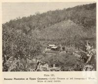 "<span class=""caption-caption"">Banana plantation at Upper Coomera</span>. <br />From <span class=""caption-book"">Queensland Agricultural Journal</span>, 1951, collection of <span class=""caption-contributor"">Fryer Library, UQ</span>."