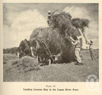 "<span class=""caption-caption"">Loading lucerne hay in the Logan River area</span>. <br />From <span class=""caption-book"">Queensland Agricultural Journal</span>, 1952, collection of <span class=""caption-contributor"">Fryer Library, UQ</span>."