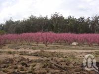 "<span class=""caption-caption"">Blossoms, Stanthorpe</span>, 2009. <br />Digital image, collection of <span class=""caption-contributor"">Centre for the Government of Queensland MS</span>."