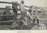 "<span class=""caption-caption"">Dehorning cattle, Tobermorey Station, Urandangie</span>, 1939. <br />Newspaper, collection of <span class=""caption-contributor"">John Young</span>."