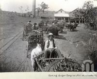 "<span class=""caption-caption"">Carting sugar cane to mill at Marburg</span>, date unknown. <br />Photograph, collection of <span class=""caption-contributor"">Mobsby Collection, Fryer Library, UQ</span>."