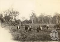"<span class=""caption-caption"">Dairy cattle, Atherton scrub</span>, 1900-1915. <br />Photograph, collection of <span class=""caption-contributor"">JC Smith Collection, Fryer Library, UQ</span>."