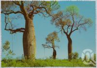 "<span class=""caption-caption"">Bottle Tree, Dawson - Callide Valley</span>, c1970-2000. <br />Postcard, collection of <span class=""caption-contributor"">Murray Views Collection</span>."