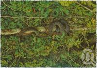"<span class=""caption-caption"">Amethystine Python, Lake Barrine, Atherton Tableland</span>, c1970-2000. <br />Postcard, collection of <span class=""caption-contributor"">Murray Views Collection</span>."