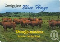 "<span class=""caption-caption"">Droughtmasters: Australia's own beef brand, Blue Haze Crows Nest</span>, c1970-2000. <br />Postcard, collection of <span class=""caption-contributor"">Murray Views Collection</span>."