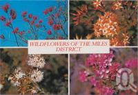 "<span class=""caption-caption"">Wildflowers, Crevillea Longistyla, Yellow Calythrix, Calythrix Tetragona, Homolacalyx, Miles</span>, c1970-2000. <br />Postcard, collection of <span class=""caption-contributor"">Murray Views Collection</span>."