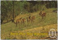 "<span class=""caption-caption"">Spanish Fallow Deer which are among the many species of deer roaming in the park, Forest Glen Deer Sanctuary, Bruce Highway</span>, c1970-2000. <br />Postcard, collection of <span class=""caption-contributor"">Murray Views Collection</span>."