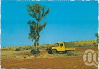 "<span class=""caption-caption"">Waddy Tree, Birdsville</span>, c1970-2000. <br />Postcard, collection of <span class=""caption-contributor"">Murray Views Collection</span>."