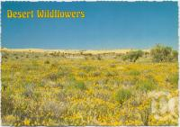 "<span class=""caption-caption"">Desert flowers against one of the many sandhills on the Birdsville Track</span>, c1970-2000. <br />Postcard, collection of <span class=""caption-contributor"">Murray Views Collection</span>."
